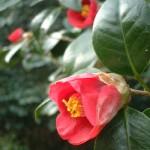 趣ある椿の花