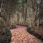 椿群生林の落ち椿のじゅうたん