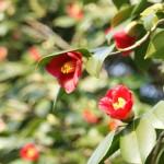 本日一番きれいに咲いていた藪椿
