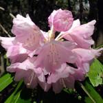 ホンシャクナゲの花