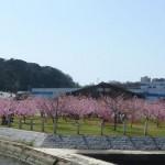 河津桜と親水公園